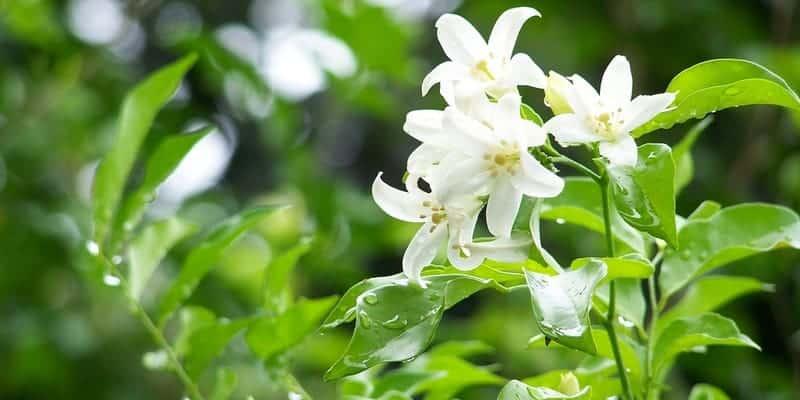 akar kemuning untuk resep herbal bisul di payudara