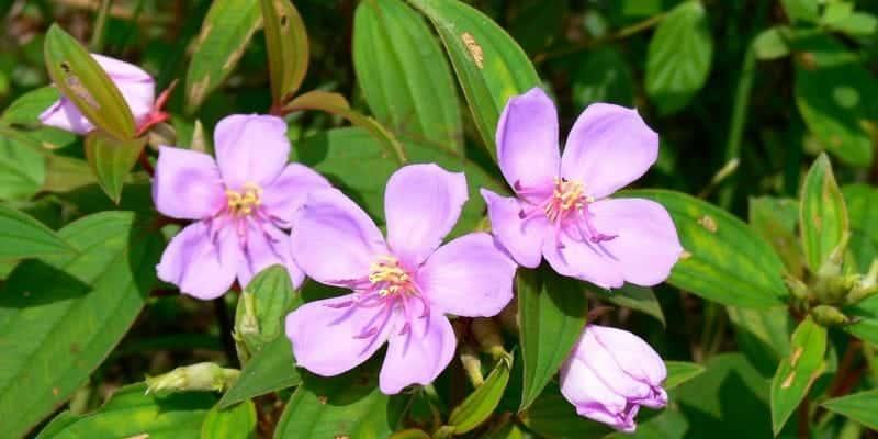daun senggani untuk resep herbal bisul