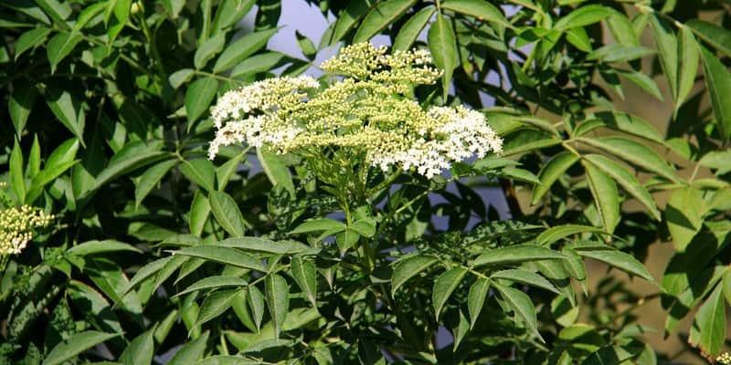 sangitan untuk ramuan herbal beri-beri