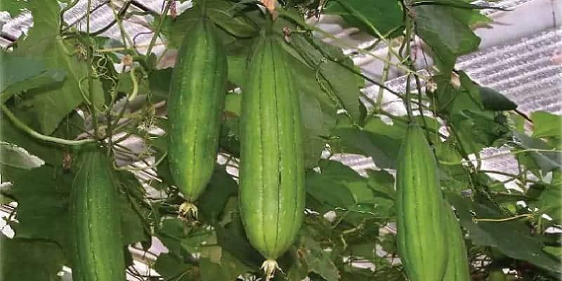 buah blustru untuk ramuan herbal melancarkan ASI