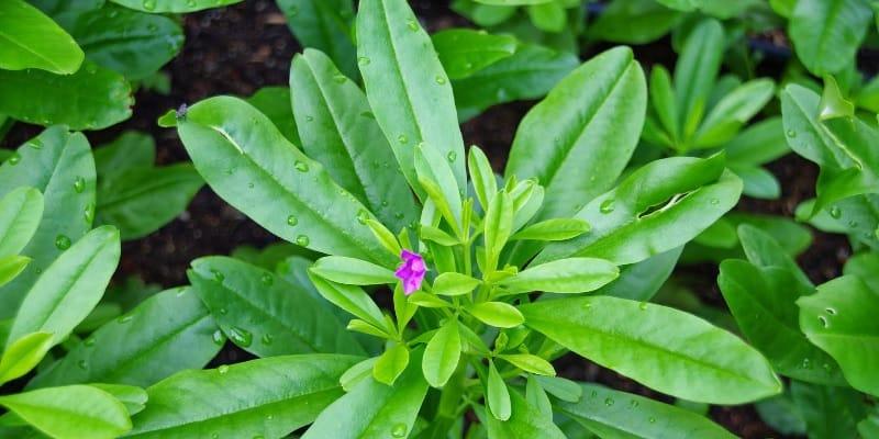 daun som jawa untuk resep herbal melancarkan asi