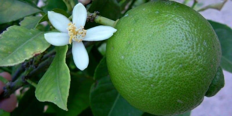 jeruk nipis untuk ramuan herbal darah tinggi