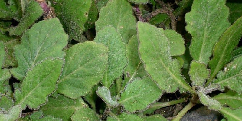 daun dewa untuk ramuan herbal cantengan