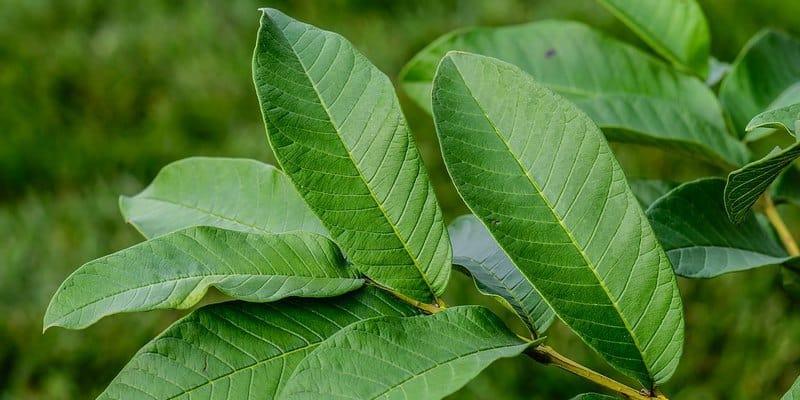 daun jambu biji untuk resep herbal diare