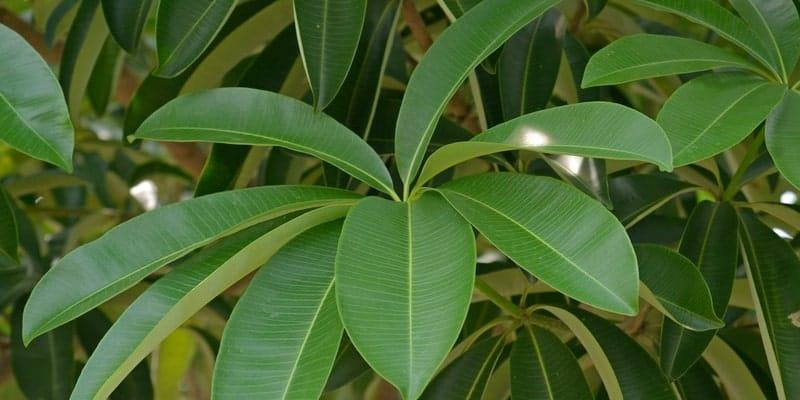 daun pulai untuk ramuan herbal luka bernanah