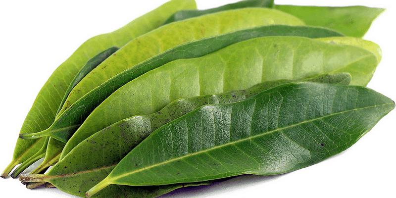 daun salam untuk ramuan herbal diare