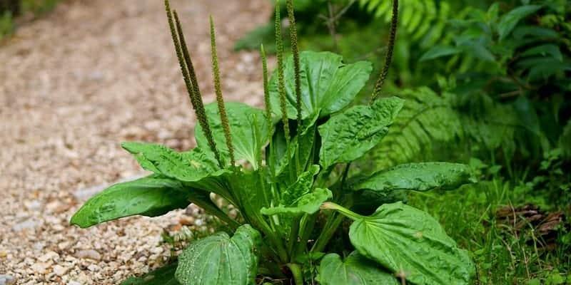 daun sendok untuk ramuan herbal bronkitis