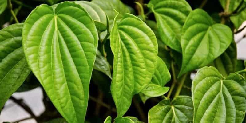 daun sirih untuk resep herbal bronkitis