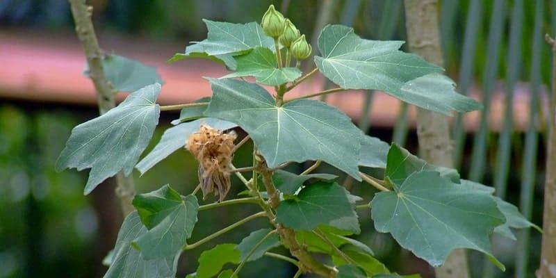 daun waru landak untuk ramuan herbal cacar ular