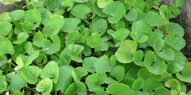 pegagan untuk ramuan herbal campak