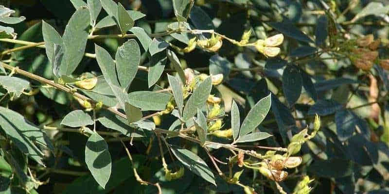 daun gude untuk resep herbal cacar ular
