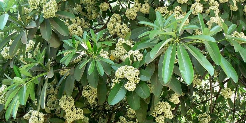 pohon pulai untuk resep herbal luka bernanah