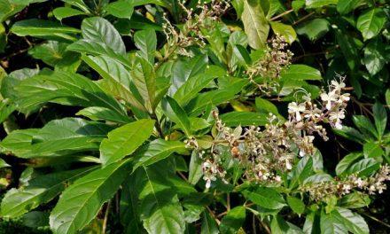Resep Herbal Luka Berair untuk Mencegah Infeksi pada Luka