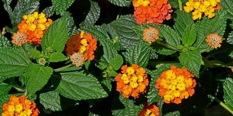 daun tembelekan untuk resep herbal eksem