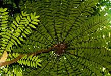 Tongkat Ali sebagai Herbal Stamina (Herbal untuk Tingkatkan Stamina atau Peningkat Stamina)
