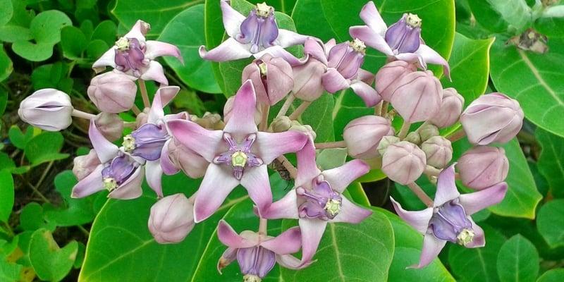 bunga biduri untuk ramuan herbal dahak di tenggorokan