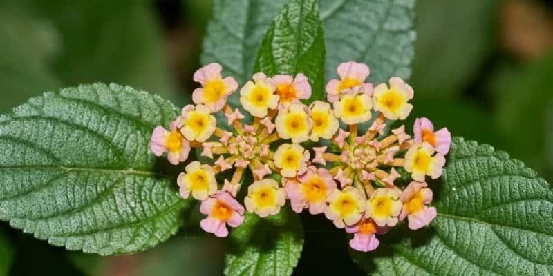 bunga & daun tembelekan untuk ramuan herbal luka berdarah