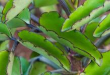 daun cocor bebek untuk resep herbal koreng