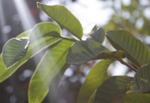 daun jambu biji untuk resep herbal luka berdarah