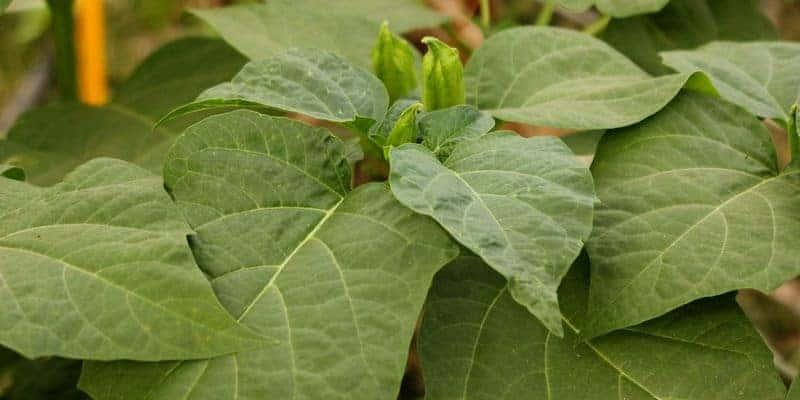 daun kecubung untuk herbal lendir berlebih di tenggorokan