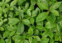 daun keji beling untuk ramuan herbal kencing batu
