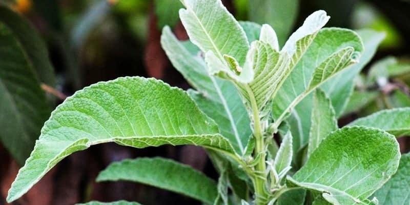 daun sembung untuk ramuan herbal nyeri haid