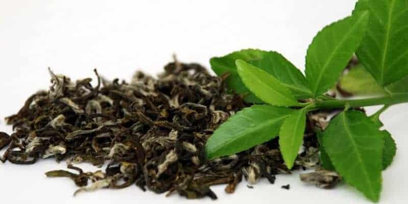 daun teh hijau untuk ramuan herbal infeksi saluran pencernaan