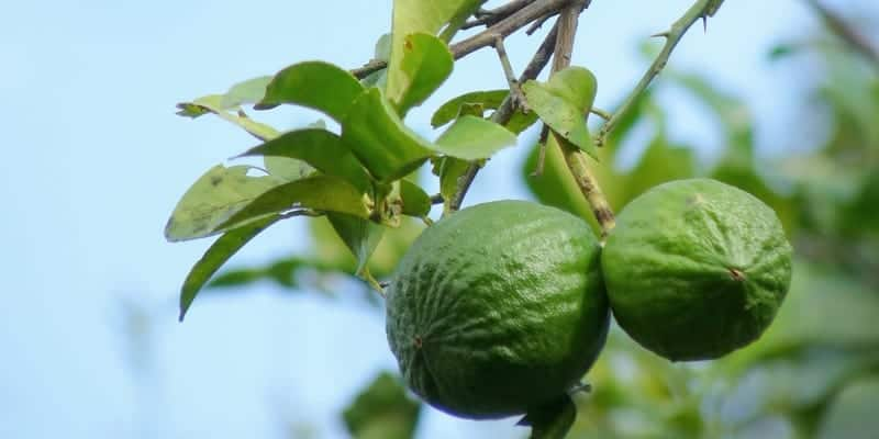 jeruk nipis untuk resep herbal lendir di tenggorokan