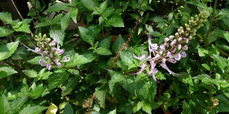 kumis kucing untuk ramuan herbal kencing batu