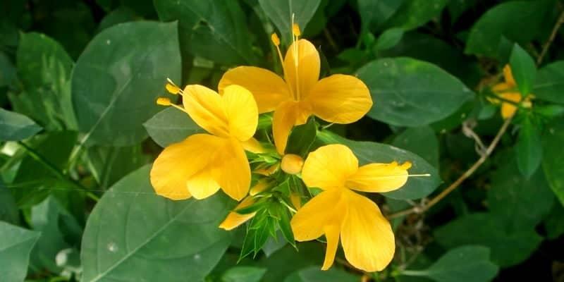 akar landep untuk resep herbal kurap
