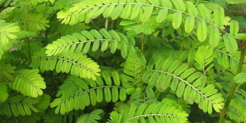 meniran untuk resep herbal disentri