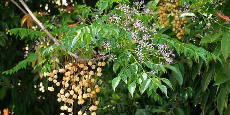 daun mindi kecil untuk ramuan herbal kudis