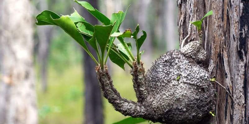 sarang semut untuk ramuan herbal kencing batu