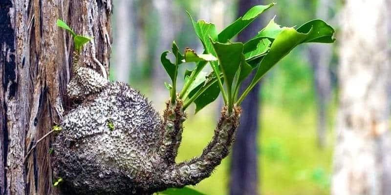 Sarang Semut sebagai Herbal Benjolan Abnormal (Herbal untuk Benjolan Abnormal atau anti Benjolan Abnormal)