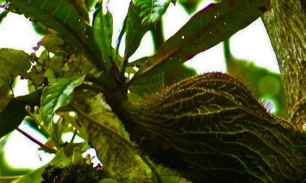 Sarang Semut sebagai Herbal Kanker
