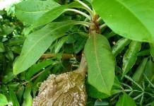 Sarang Semut sebagai Herbal Kista (Herbal untuk Kista atau anti Kista)