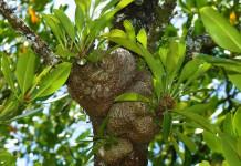 Sarang Semut sebagai Herbal Polip (Herbal untuk Polip atau anti Polip)