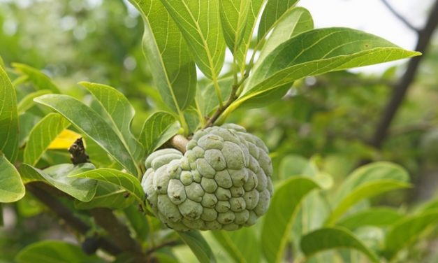 Resep Herbal Kudis: Daun Srikaya, Mindi Kecil, dan Sambiloto