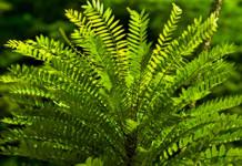 Tongkat Ali sebagai Herbal Infertilitas (Herbal untuk Infertilitas atau anti Infertilitas)