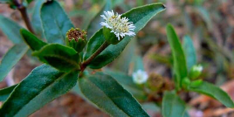 urang-aring untuk ramuan herbal penghitam rambut