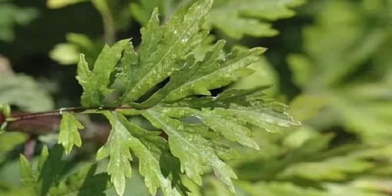 daun baru cina untuk resep herbal osteoporosis