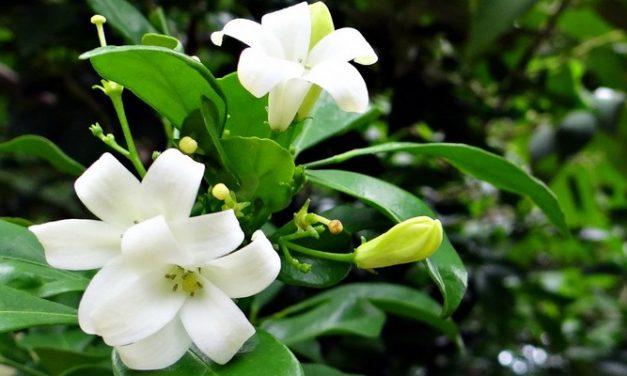 Resep Herbal Kulit Kering: Jeruk Purut, Nanas, dan Kemuning