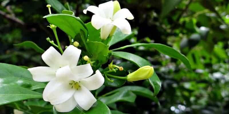 daun kemuning untuk resep herbal kulit kering
