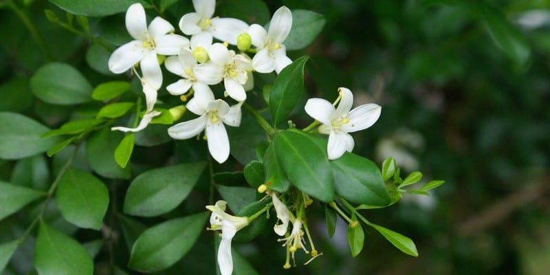kemuning untuk resep herbal radang testis
