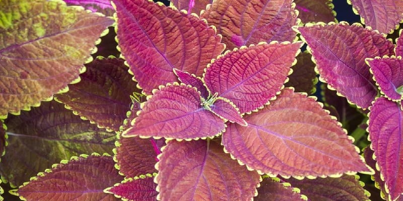 daun iler untuk resep herbal radang telinga