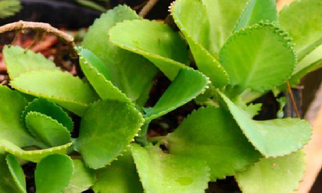 Resep Herbal Radang Lambung, Cara Alami Mengatasi Gastritis