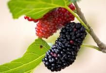 buah murbei untuk resep herbal penyakit jantung