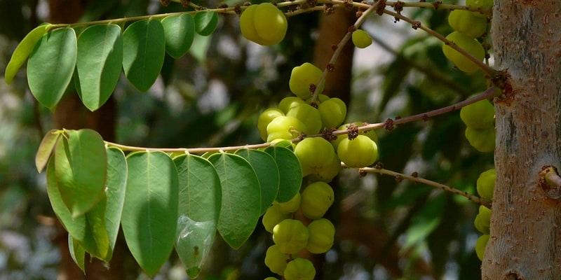 ceremai untuk ramuan herbal sembelit
