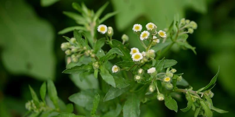 urang-aring untuk resep herbal koreng di kepala