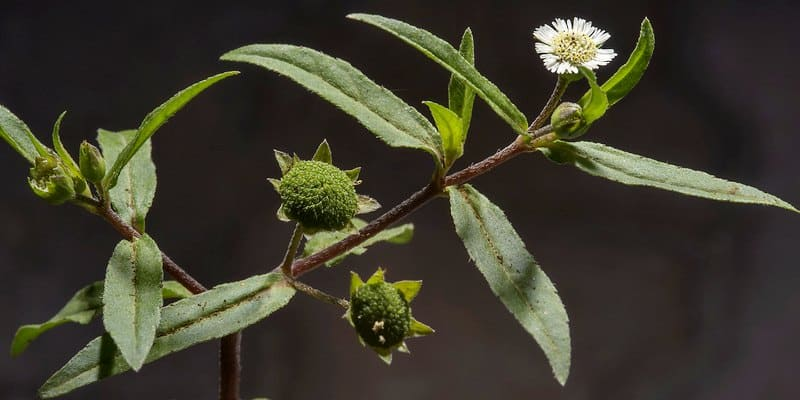 urang-aring untuk ramuan herbal koreng di kepala